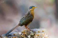 Lesser-growund-Cuckoo
