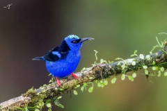 Red-legged-Honeycreeper