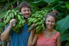 banana-harvest4