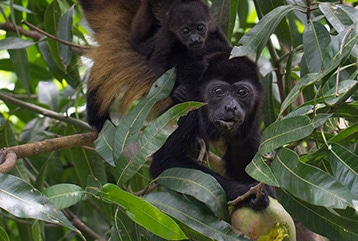 howler monkey pachamama costa rica nature and wildlife